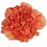 Colored Carnations - Package of 100
