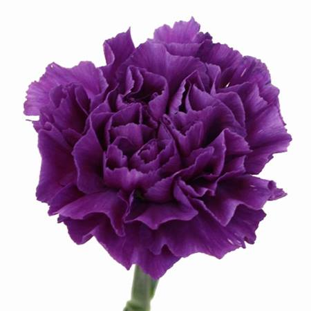 Colored Carnations - Package of 150