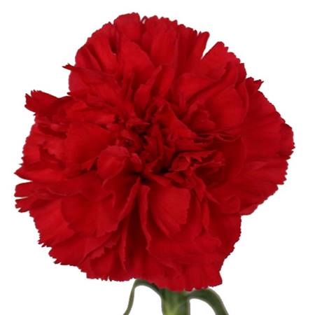 Colored Carnations - Package of 300