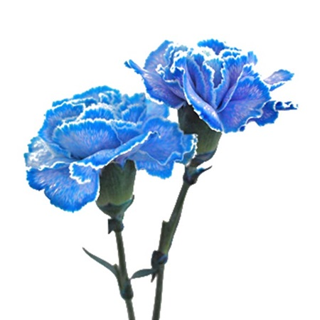 Tinted Carnations - Package of 150