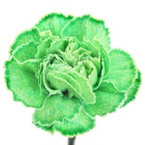 Tinted Carnations - Package of 300