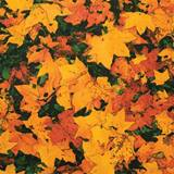 Autumn Leaves Flat Patterned Paper