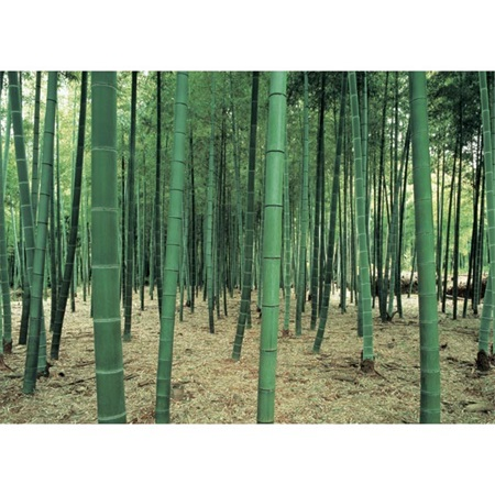 Bamboo Forest Photo Mural